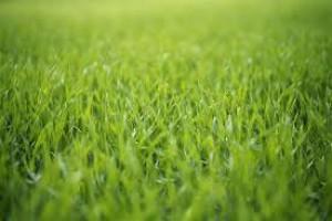 zeleny-jecmen-oseni.jpg